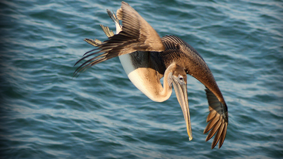 pelican flying over ocean